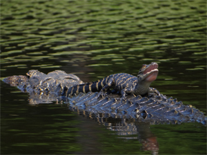 Photo Baby alligator on back of adult alligator